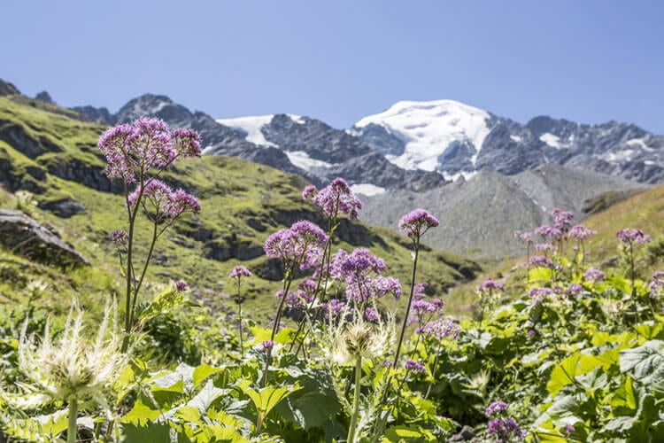 alpine-flowers-verbier-swit
